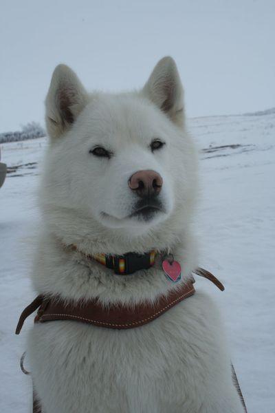 Фотографии собак хаски, фото собак породы хаски, фотографии хаски и...