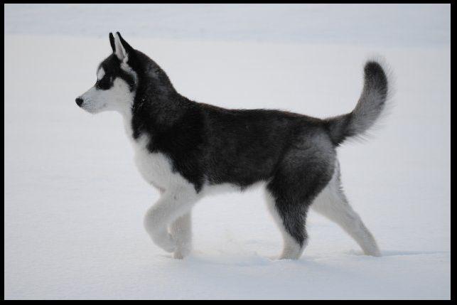 Порода хаски фото фото собак породы