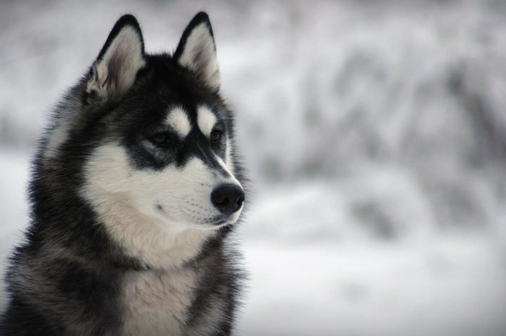 Хаски фото, фото собак породы хаски, фотографии хаски и щенков хаски