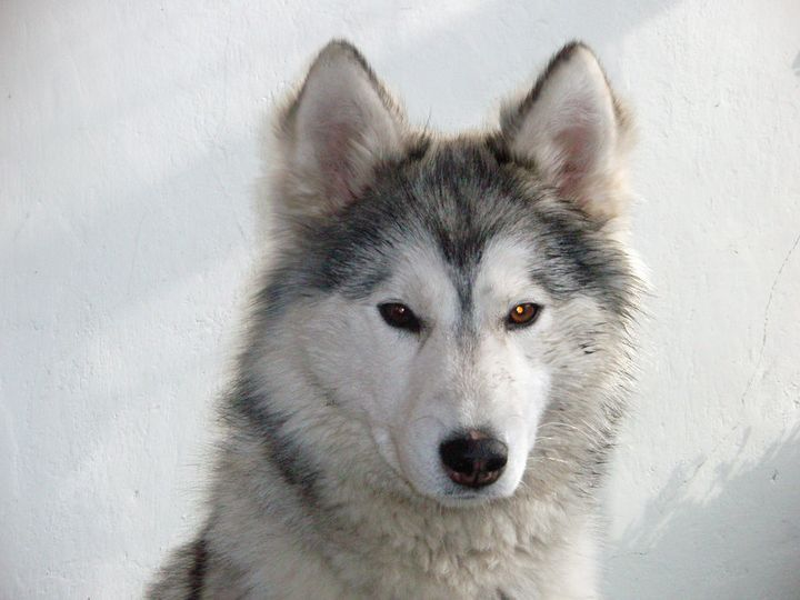 Фото хаски белые, фото собак породы хаски, фотографии хаски и щенков...